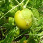Фізаліс овочевий: корисні властивості, рецепти приготування на зиму