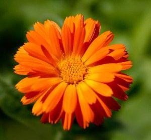 Календула лікарська, вірніше її квітка